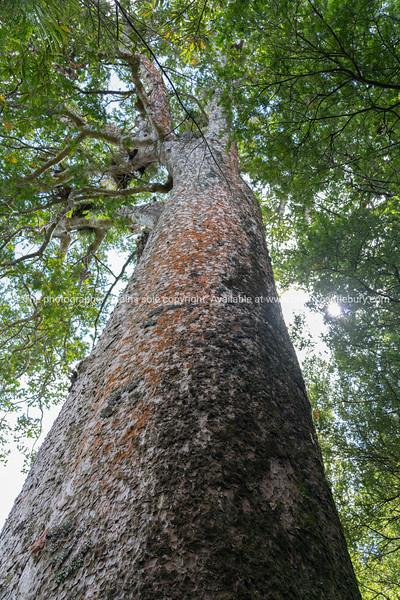 View up tall ancient kauri tree