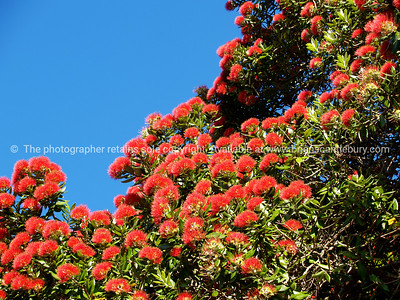Pohutukawa in full bloom, against blue sky.