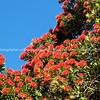 Pohutukawa in full bloom, against blue sky.
