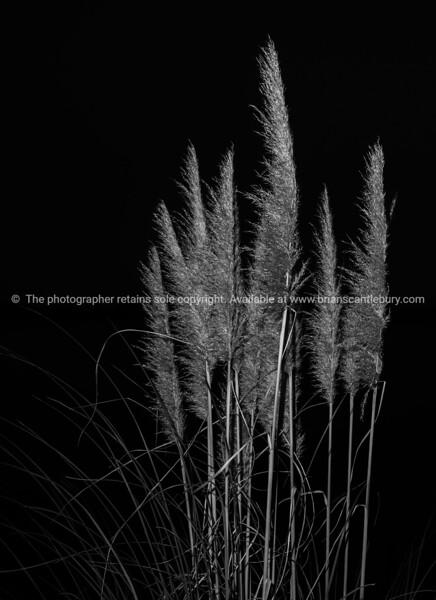 Pampas Grass in flower