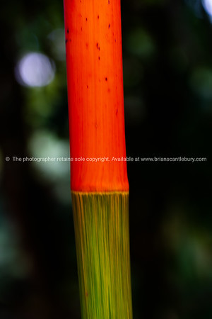Sealing wax palm colorful stem
