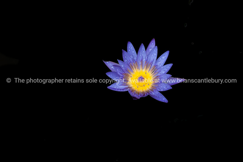 Beautiful blue and yellow water lily