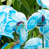 Striking teal and white orchid, close up. Cymbidium.