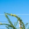 Bright yellow flower on green thorny stem of gorse bush