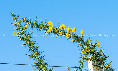 Bright yellow flower on green thorny stem of gorse bush