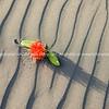 Pohutukawa flower on wind patterned sand.