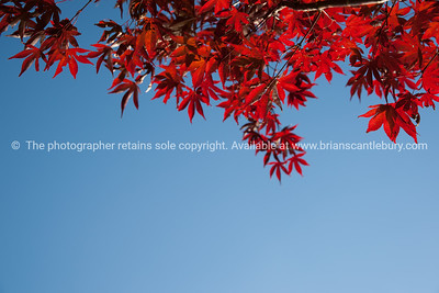 Red leaves of Japanese Maple form border across top of images. isolated on blue sky. See; www.blurb.com/b/3811392-tauranga mount maunganui landscape photography, Tauranga Photos; Tauranga photos, Photos of Tauranga Also see; http://www.brianscantlebury.com/Events
