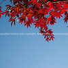 Brilliant red Japanese Maple and blue sky.
