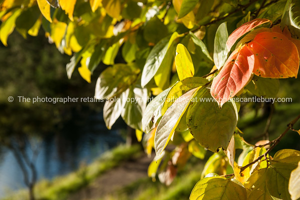 "Green and golden colours of autumn foliage. See;  <a href=""http://www.blurb.com/b/3811392-tauranga"">http://www.blurb.com/b/3811392-tauranga</a> mount maunganui landscape photography, Tauranga Photos; Tauranga photos, Photos of Tauranga Also see; <a href=""http://www.brianscantlebury.com/Events"">http://www.brianscantlebury.com/Events</a>"