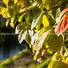 """Green and golden colours of autumn foliage. See;  <a href=""""http://www.blurb.com/b/3811392-tauranga"""">http://www.blurb.com/b/3811392-tauranga</a> mount maunganui landscape photography, Tauranga Photos; Tauranga photos, Photos of Tauranga Also see; <a href=""""http://www.brianscantlebury.com/Events"""">http://www.brianscantlebury.com/Events</a>"""