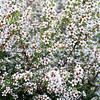 Manuka in full bloom