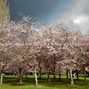 Flowering cherry tree grove in Auckland's Cornwall Park