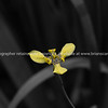 Yellow and speckled orchid.