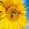 Sunflower and bee.