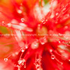 Pohutukawa flower, closeup, defocus effect.