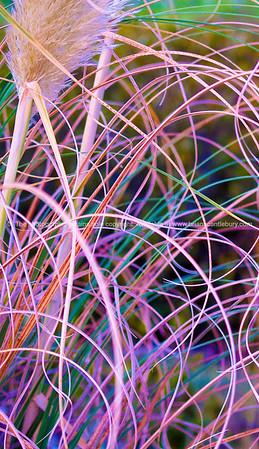 Pampas grass, blades mixed colours.
