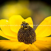 Bumble bee on bright yellow flower.