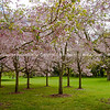 Cherry trees of Cornwall Park in full blossom.