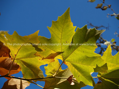 Londan Plane Tree leaves, closeup.Tauranga scenics.  London Plane Tree leaves against blue sky. Tauranga is New Zealands 5th largest city and offers a wonderfull variety of scenic and cultural experiences. Tauranga stock images Tauranga scenics. See; www.blurb.com/b/3811392-tauranga mount maunganui landscape photography, Tauranga Photos; Tauranga photos, Photos of Tauranga Also see; http://www.brianscantlebury.com/Events