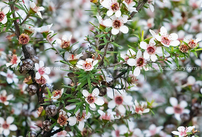 Manuka in full bloom