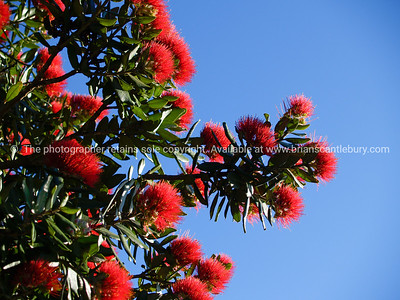 Pohutukawa in bloom, New Zealand Christmas tree.