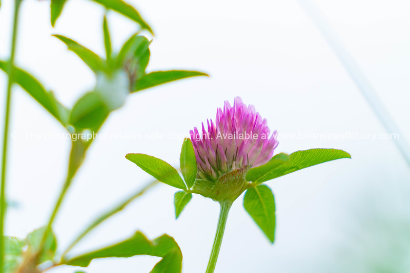 Pink clover flower closeup with green leaves