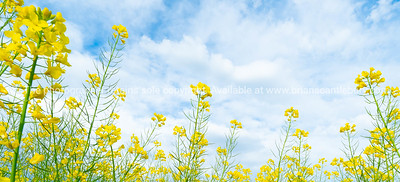 Expansive fields of bright green and yellow canola oil plants