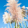 Pampas grass seed head. against blue sky