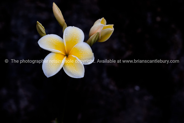 Delicate white and yellow frangipani flower moist with morning dew