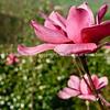 Magnolia flower.