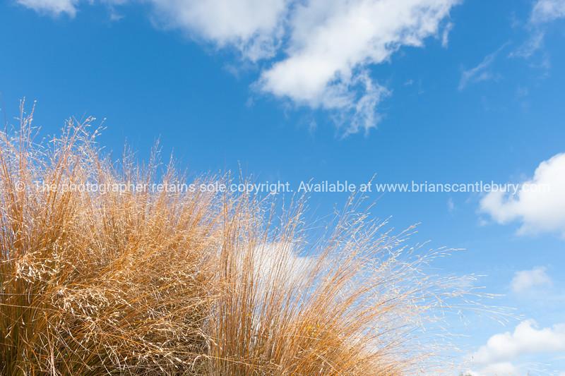 Brown tussock grass closeup