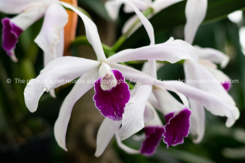 White petalled orchid with purple lobellum