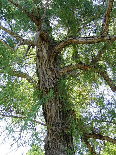 My favorite tree (146_4661)