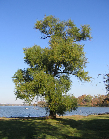 A view of my favorite tree with the lake in the background (157_5739)