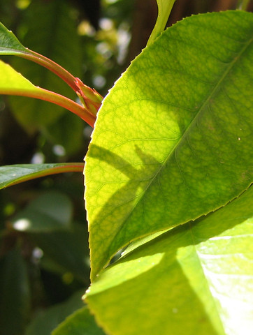 A close-up of a Fraser photinia (Photinia x fraseri) bud and leaves (163_6356)