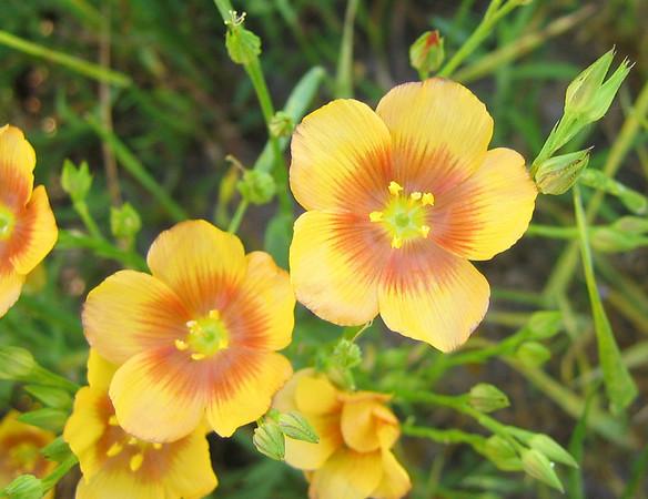 Golden Flax (Linum flavum) (192_9264)
