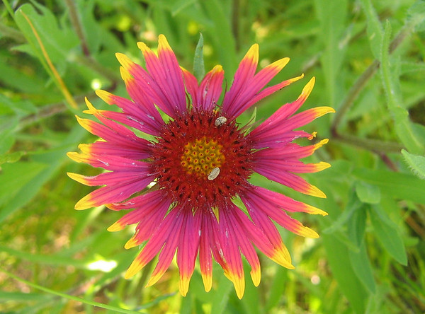 Firewheel, a.k.a Indian Blanket or Blanket Flower (Gaillardia pulchella) (192_9266)