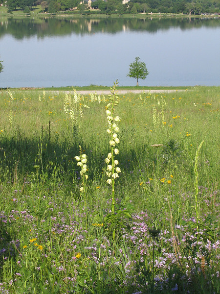 A field of wildflowers with the lake in the background (192_9275)
