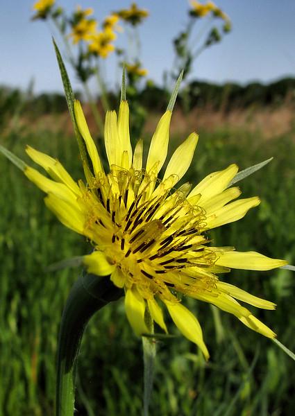 A western salsify (Tragopogon dubius) flower (20080426_04709)