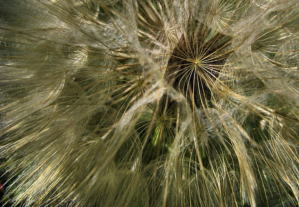Close-up of a western salsify (Tragopogon dubius) seed head (20080518_05496)