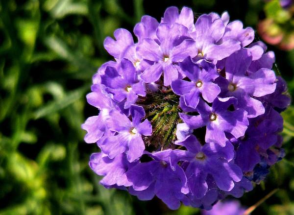 Prairie verbena (Verbena bipinnatifida) (20080601_06059)