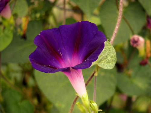 A purple morning glory (a.k.a. common morning glory; Ipomoea purpurea)(20080809_10619)