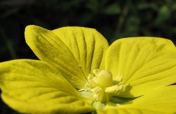 Seedbox (Ludwigia alternifolia) (20080921_12589)