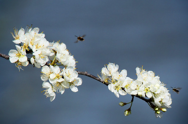 The brilliant white spring flowers of Mexican Plum (a.k.a. big tree plum or inch plum; Prunus mexicana) with insects buzzing around (2009_03_08_012589)