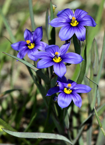 Close-up of blooming roadside blue-eyed grass (a.k.a. dotted blue-eyed grass or southern blue-eyed grass; Sisyrinchium langloisii) (2009_04_11_014922)