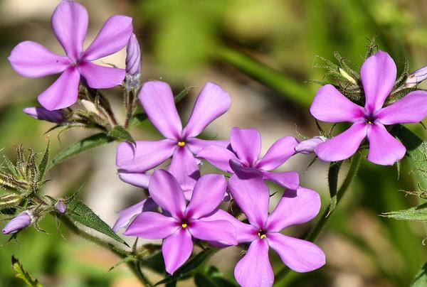 Downy phlox (a.k.a. prairie phlox or fragrant phlox; Phlox pilosa) (2009_04_11_015027)