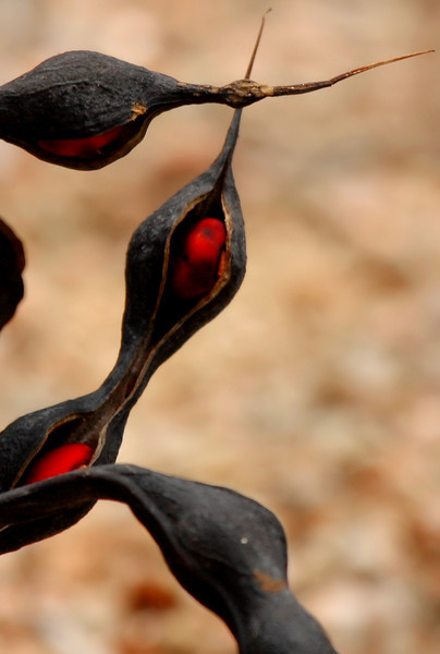 Dried seed pods of coral bean (a.k.a. red cardinal, cardinal spear or Cherokee bean; Erythrina herbacea) showing the crimson seeds inside (2009_05_16_018842)