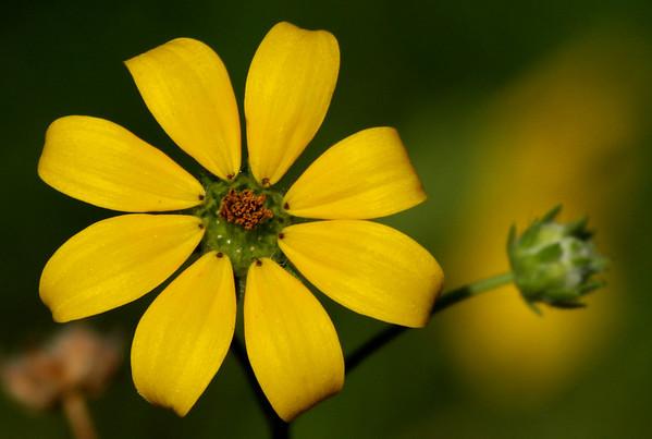 Texas greeneyes (Berlandiera betonicifolia) (2009_05_31_021013)