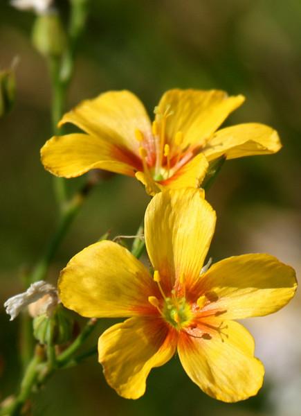 Berlandier's yellow flax (Linum berlandieri) (2009_05_31_021054)