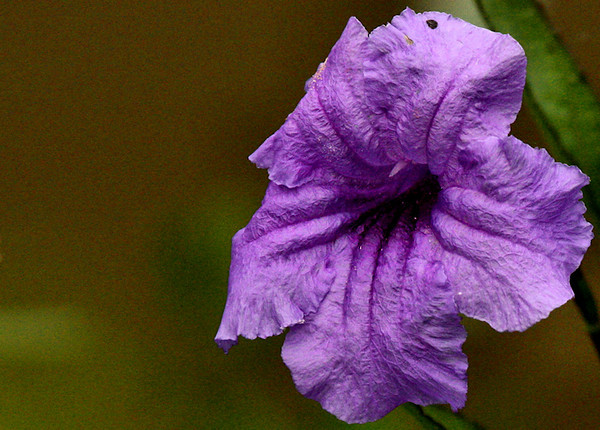 Mexican petunia (a.k.a. Texas petunia or common ruellia; Ruellia brittoniana) (2009_09_04_028688)